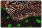 Green Eye Elephant Nose Coral and Plate Coral Combo