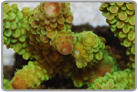 Green Short Staghorn Acro Coral - Cultured
